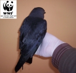 Recupero fauna selvatica: Taccola